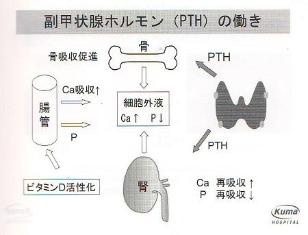 甲状腺の病気 | 東京都 文京区 犬・猫 皮膚科 歯科  …