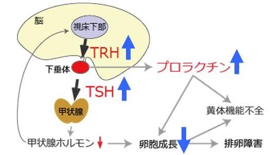 ホルモン 放出 刺激 甲状腺 ホルモン