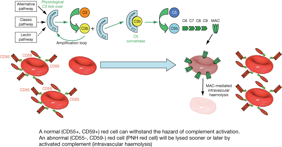 autoimmune hemolytic anemia steroid therapy