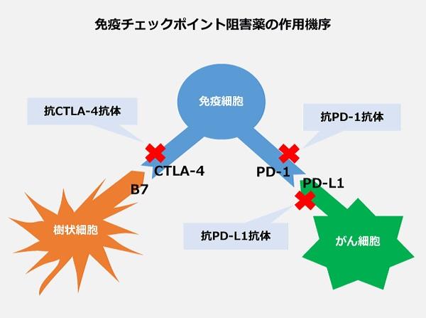 免疫 チェック ポイント 阻害 剤 新しい 免疫チェックポイント阻害剤について